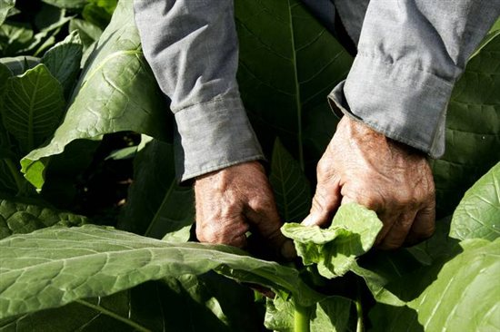 Tobacco worker tending to plant
